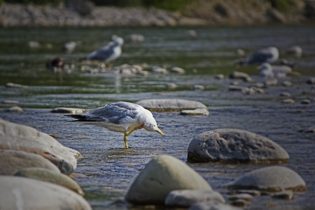squawk: Seagull cleans feathers In the hot afternoon bird resting in the shallow waters by fly and the heat Stock Photo