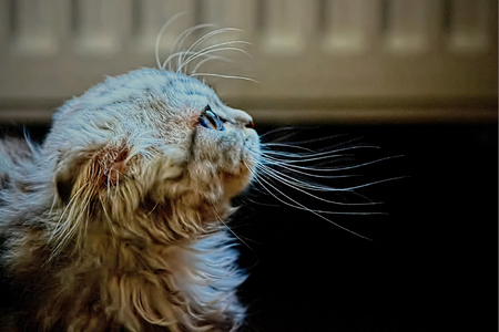 be careful: lop-eared breed of cat with his head.