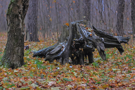The old forest stump lies on its side in the autumn forest. Stock Photo