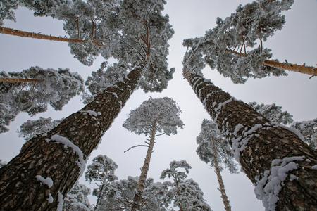 Frosty morning in the Siberian taiga.