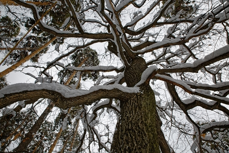 Dark snow-covered oak branches form a pattern on a background of blue sky Фото со стока