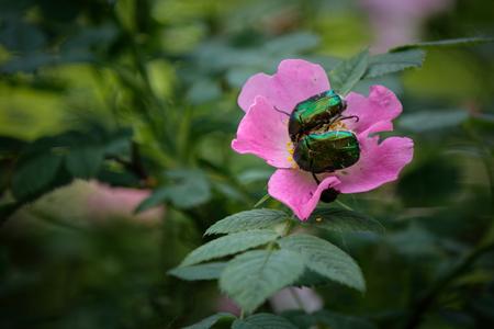 Closeup of two green metallic beetles European Rose Chafer, Cetonia aurata crawling on small white flower blossoms