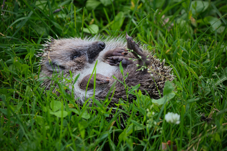 Hedgehog rests on the green grass.