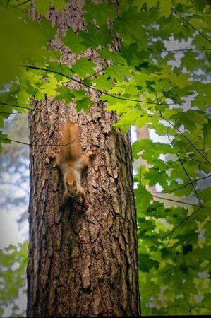 A small squirrel descends down the tree trunk.