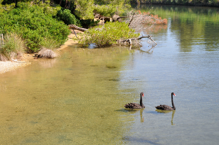sporades: Two black swans on the lake in Skiathos