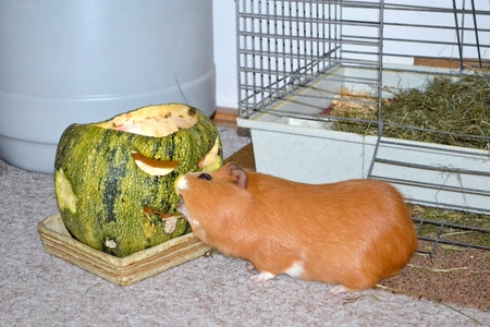 likable: Guinea pig eats a Halloween courgette Stock Photo