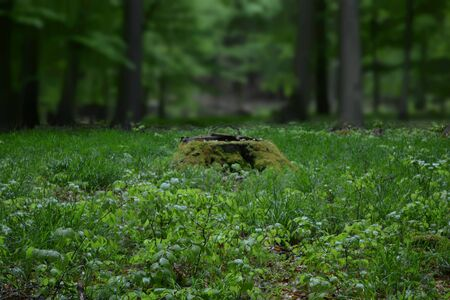 woodland: Mossy tree stump in the forest Stock Photo