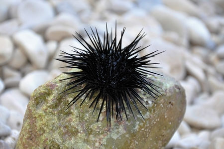 Black sea urchin on stone Stok Fotoğraf