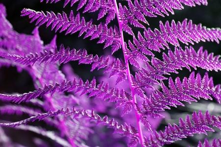 Violet abstract bracken fern closeup image horizontal photo
