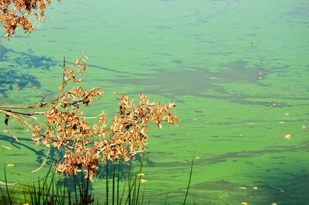 Detail of cyanobacteria cyanophyta plantktonic pollution on lake Stock Photo