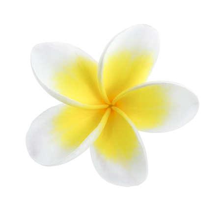 Plumeria on white background Stock Photo