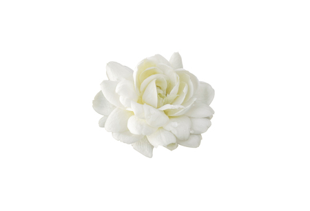 White jasmine on white isolated background