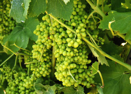 agriculturalist: Clusters of grape Stock Photo