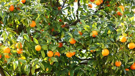 valencia orange: Oranges in a garden of Barcelona
