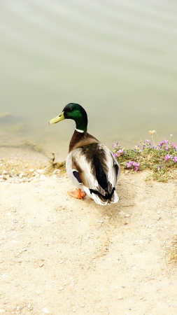 palmiped: Duck in Cubelles s Parc Fluvial, Barcelona