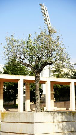 olympic ring: Olive tree in the gardens of Montju�c s Olympian Ring, Barcelona Editorial