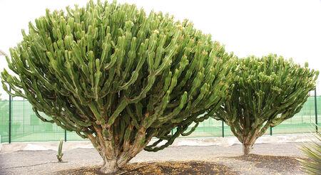 canarian: Canarian flora plants in Lanzarote, Canary Islands