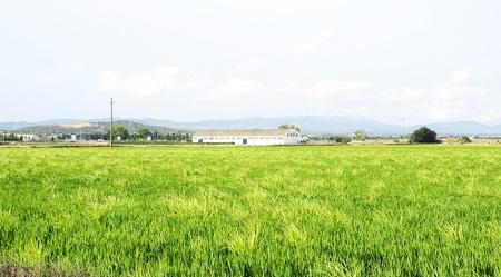 Rice plantation in the Ebro Delta, Tarragona photo