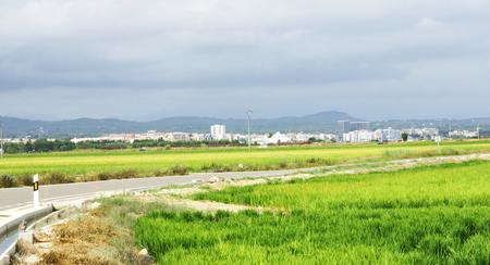 Rice plantation in the Delta del Ebro, Tarragona photo