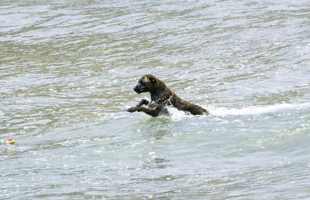 garraf: Dog swimming on the beach, Garraf, Barcelona Stock Photo
