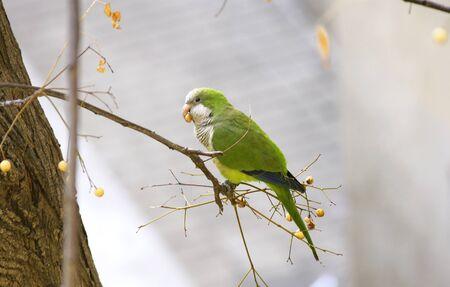 periquito: Perico en la rama de un árbol