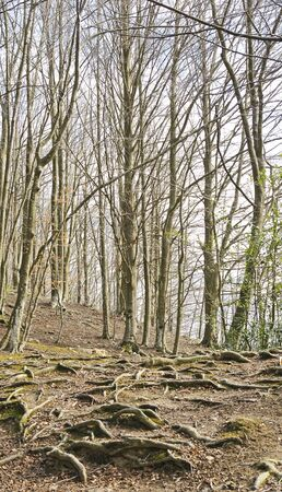 fe: Roots in a forest of Santa Fe Montseny, Barcelona Stock Photo