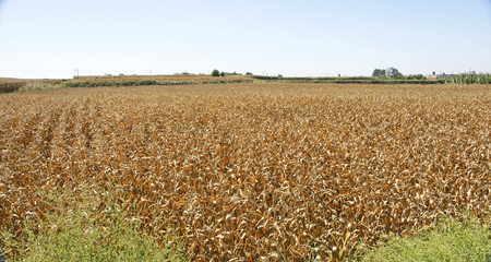 Field of maize in Lleida, Catalonia, Spain