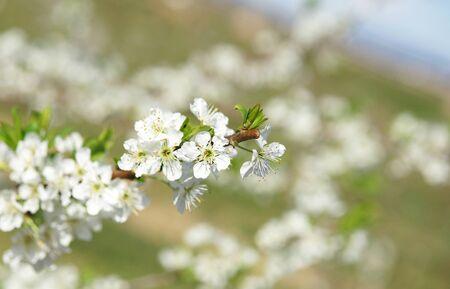 Almond blossom in the Delta del Llobregat, Barcelona Stock Photo
