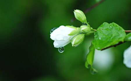 White flower with raindrops Stock Photo