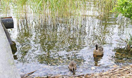 Ducks on the Svir river, Mandrogi, Russia