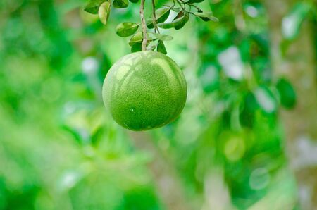 Pomelo fruit in the tree