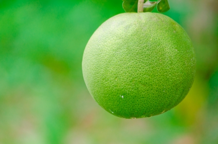 Pomelo fruit in the tree photo
