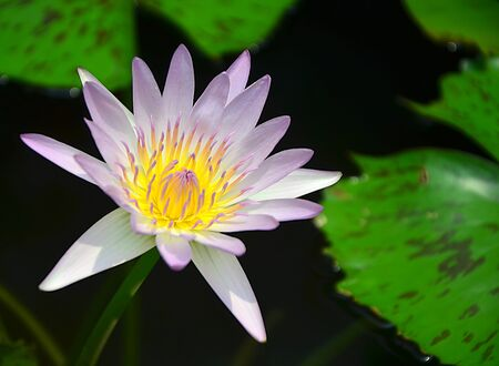 The flower lotus