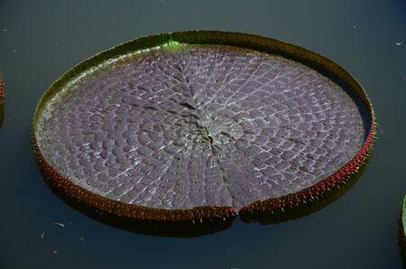 lotus leaf in a pond photo