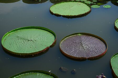 lotus leaf in a pond Stock Photo