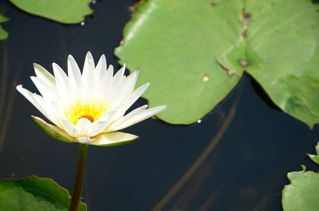 lotus fower in a pond photo