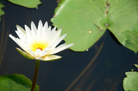 lotus fower in a pond Stock Photo