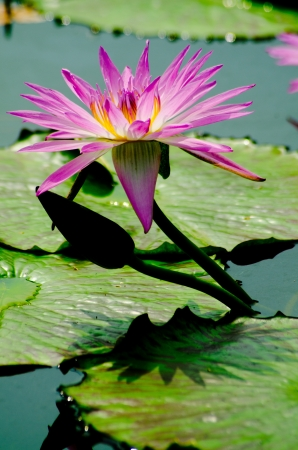 Lotus flower in a pond