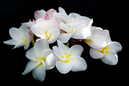 thom: Beautiful white flower in Thailand, Lan thom flower