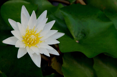 Lotus fower in a pond