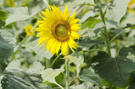 Sunflower in Thailand