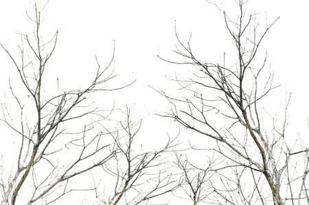 The branches of dead tree isolated on white background
