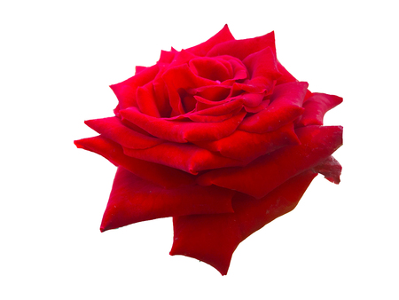 Red rose  is background white .