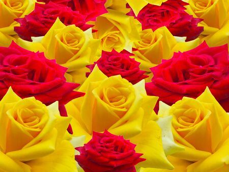 Red rose Yellow is background white .
