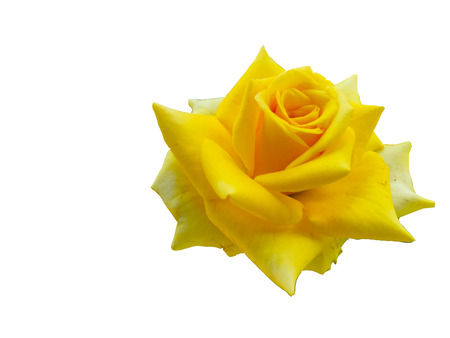 Yellow rose is background white .