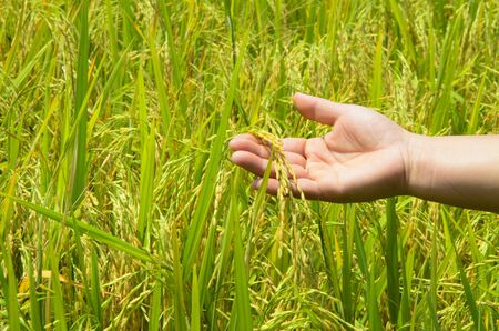 rice on hand up in paddy Stock Photo