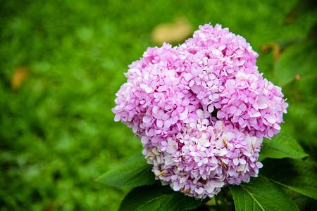 Pink Hydrangeas flowers (Hydrangea macrophylla) in a garden