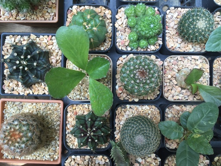 cactus ornamental plants  colour  beautiful in garden, scientific plant for decor garden 版權商用圖片