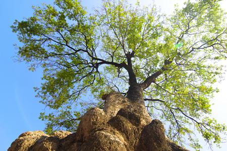 Big tree photographed upwards. Stock Photo