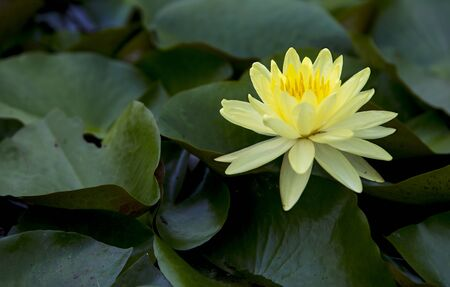 Yellow lotus in the pond Banque d'images - 132063373